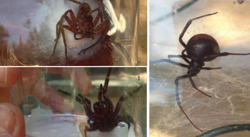 Fascinantes arañas australianas ¿asesinas o hacendosas?